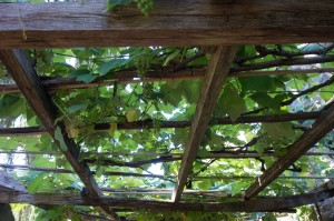 Grapevine covered arbour